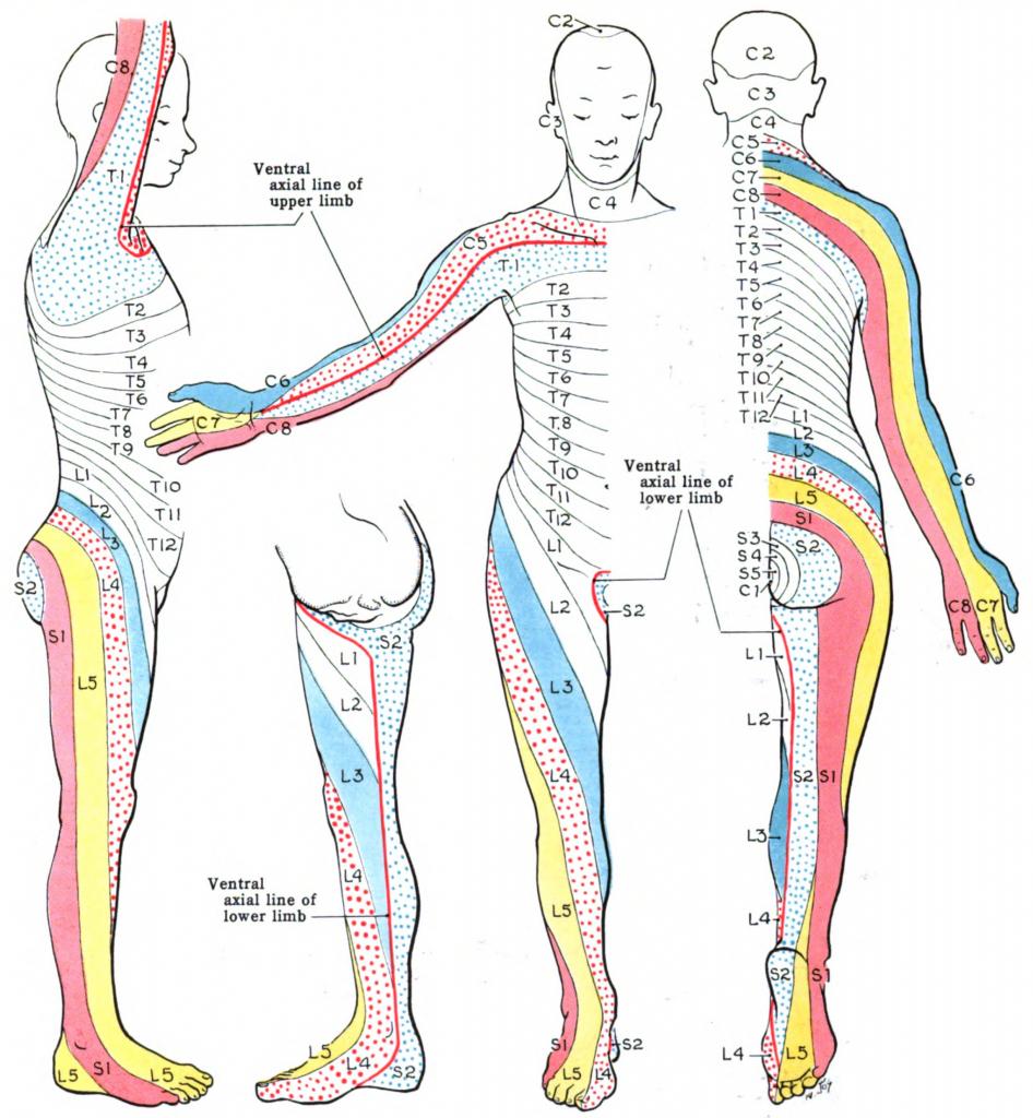 Dermatome (Anatomy) - Wikipedia - Printable Dermatome Map
