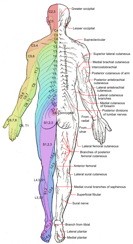 Dermatome Patterns: A Map Of Where Our Nerves Send Pain Signals Out - Printable Dermatome Map