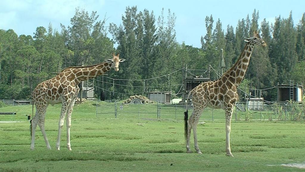 Giraffes Killedlightning Strike At Lion Country Safari, Park - Lion Country Safari Florida Map