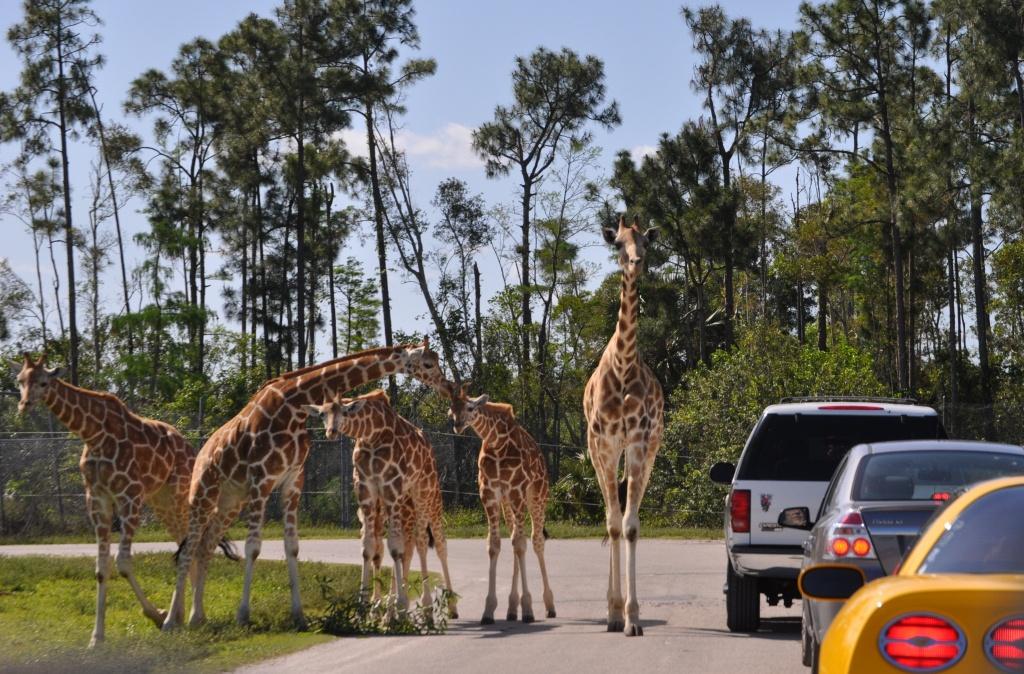 Lion Country Safari | South Florida Finds - Lion Country Safari Florida Map
