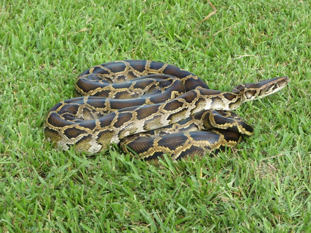 Newly Discovered Hybrid Pythons Are Threatening Florida's Wildlife - Florida Snake Problem Map