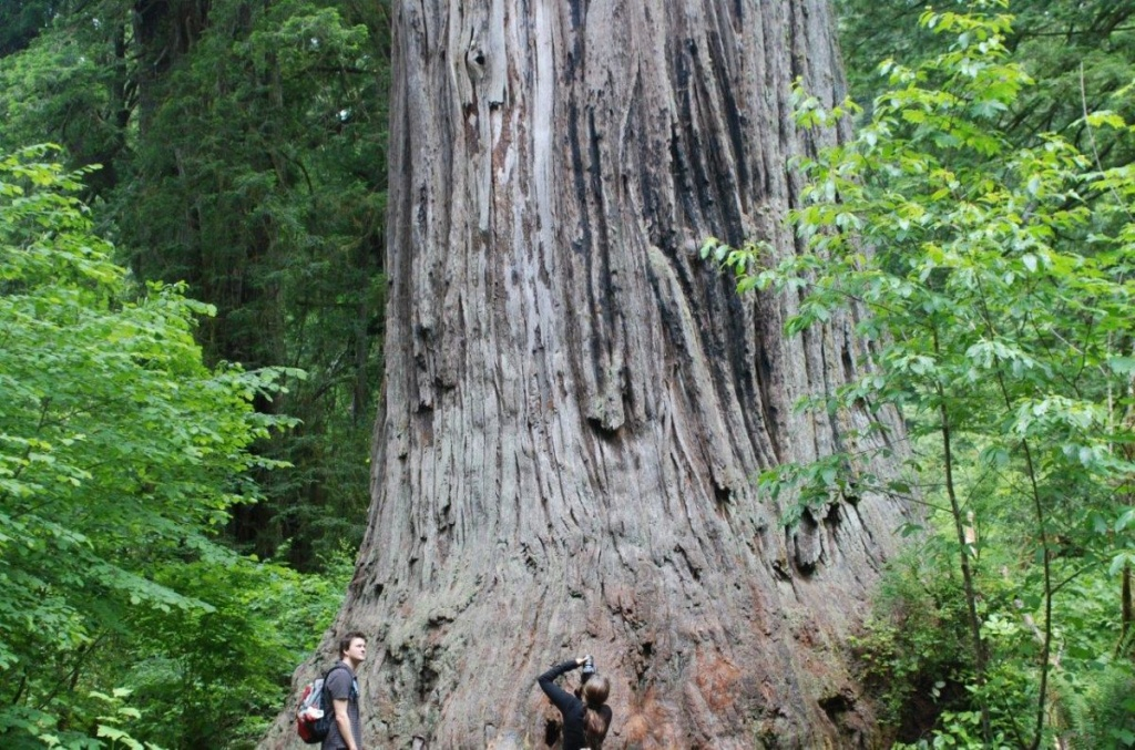 Ten Must See Redwood Trees - Giant Redwood Trees California Map